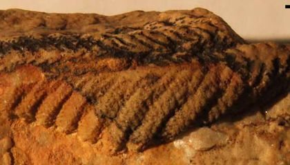 Mysterious, Plant-Like Fossil May Have Been One of the Earliest Animals