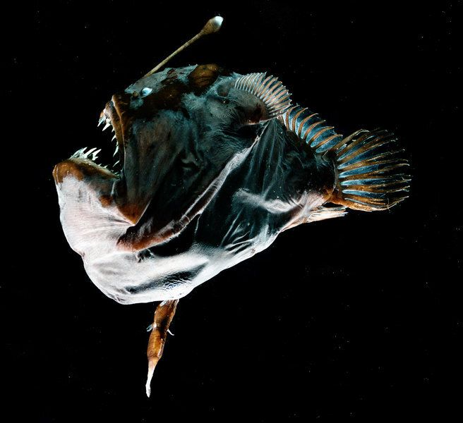 An anglerfish female—the iconic, toothy deep-sea fish with a bioluminescent rod on her forehead—and her male mate, which is six-times smaller and more finger-like in shape