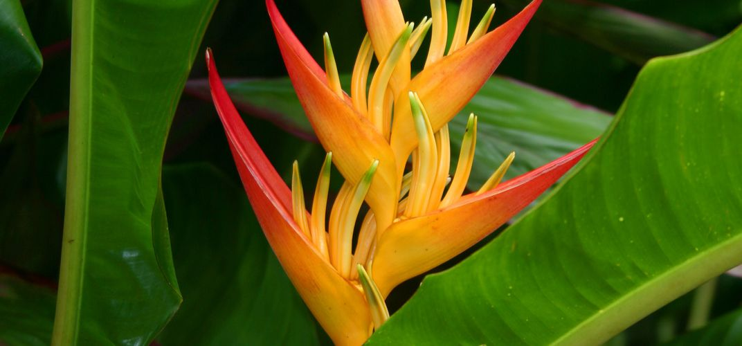 Colorful Heliconia