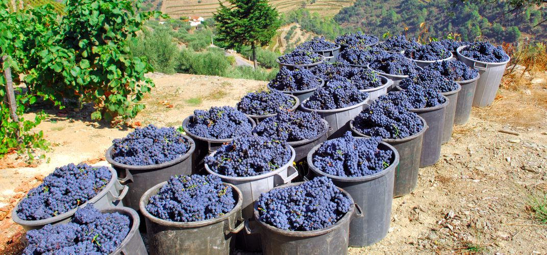 Harvesting grapes along the Douro River