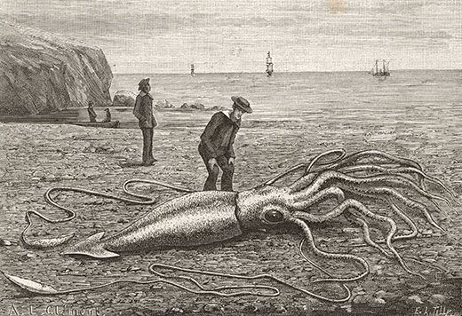 A Dead Giant Squid Washed Ashore In Fortune Bay Newfoundland 1871 Mary Evans Picture Library Alamy