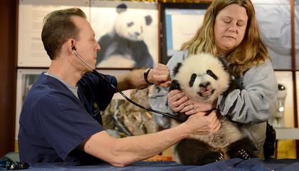 Photos and Videos of the National Zoo's Panda Cub Making a Visit to the Vet