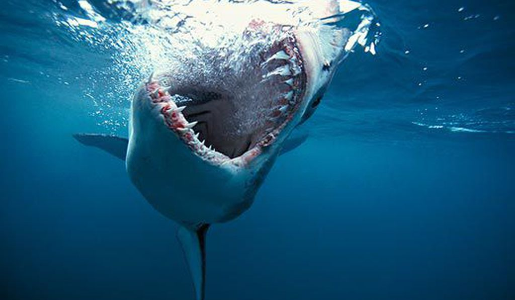 Great White Shark (<em>Carcharodon carcharias</em>). South Africa.