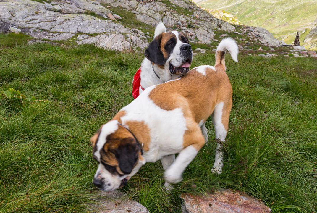 A Brief History Of The St Bernard Rescue Dog Travel Smithsonian