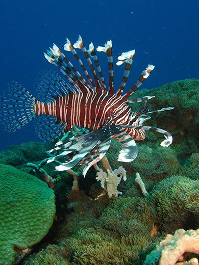 Invasion of the Lionfish   Science   Smithsonian