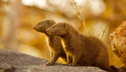 For Immigrant Mongooses, It Can Take Time to Earn Society's Trust