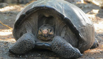 Meet Fernanda, the Galápagos Tortoise Lost for Over a Century