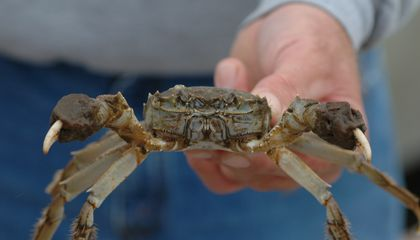 "A Chinese mitten crab found in Chesapeake Beach, Maryland, in 2007. Chinese mitten crabs are most recognizable by their brown, spiny shells and furry ""mittened"" claws. (Credit: SERC)"