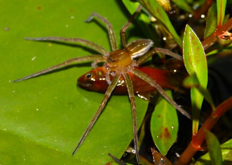 Spiders All Over The World Have A Taste For Fish Science Smithsonian Magazine