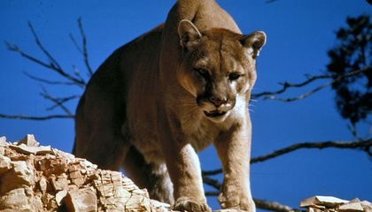 The Plague Has Been Quietly Killing Yellowstone Cougars for a Decade
