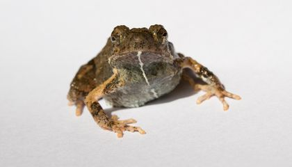 A City Frog's Love Song Attracts More Mates Than Countryside Croaks