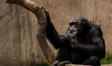 The Mysterious Cause of a Deadly Illness in Sanctuary Chimps Revealed