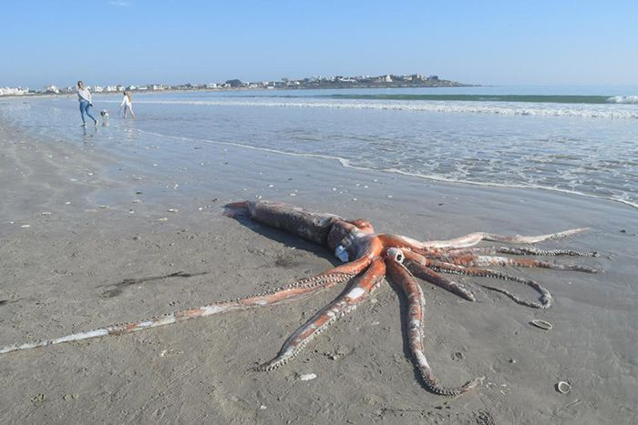 Giant squid washed ashore South African beach earlier this month