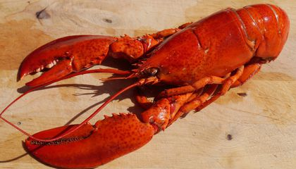 Climate Change, and Cod, Are Causing One Heck of a Lobster Boom in Maine