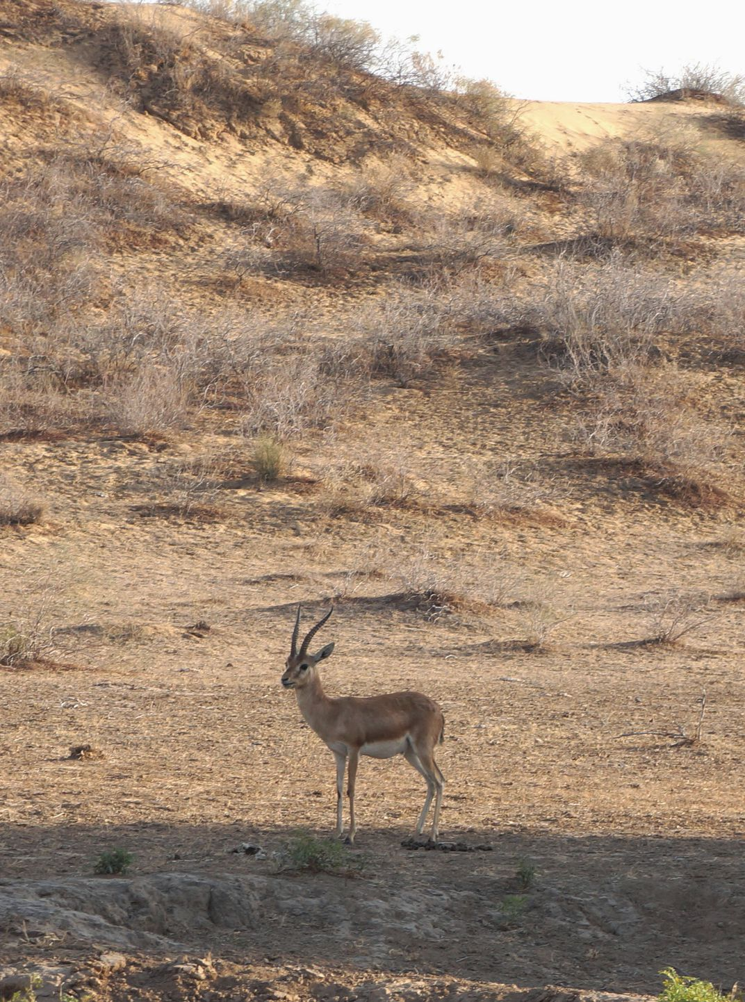 Black buck in Bishnoi area (Doranne Jacobson)