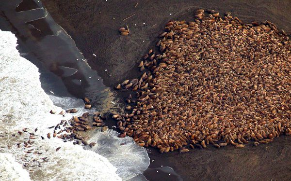 Wall of walrus: 35,000 come ashore in Alaska