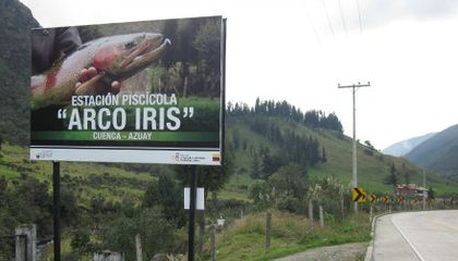 What Makes the Trout in Ecuador Look Like Salmon?