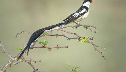 This Beautiful Species Could Be Trouble for Native Birds