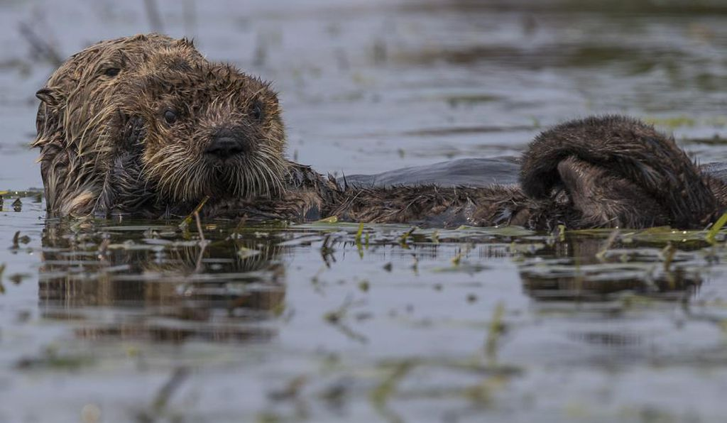 A southern sea otter swims with its baby in Moss Landing, California