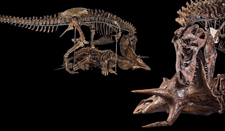 The Nation's T. rex decapitating a Triceratops in its new pose as the centerpiece of the