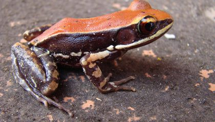 This Frog's Slime Kills Flu Viruses