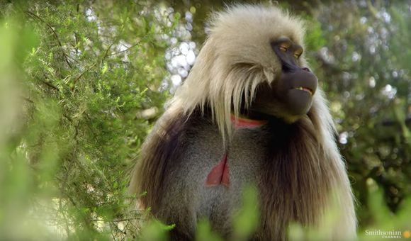 Preview thumbnail for video'Are Gelada Cries the Closest Thing We Have to Human Speech?