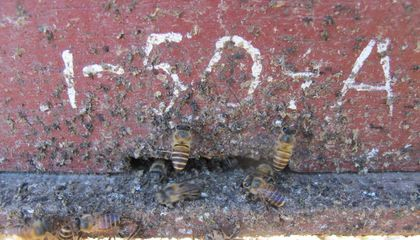 Asian Bees Plaster Hives With Feces to Defend Against Hornet Attacks