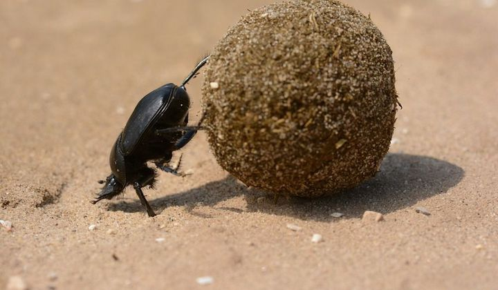 All Praise The Humble Dung Beetle