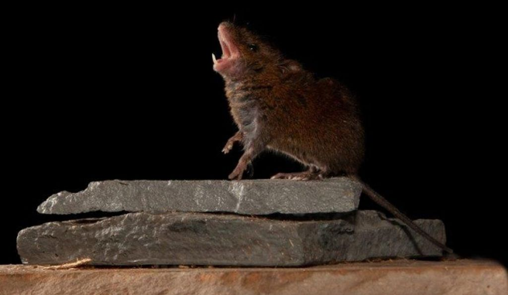 The musical mice can produce arias lasting up to 16 seconds