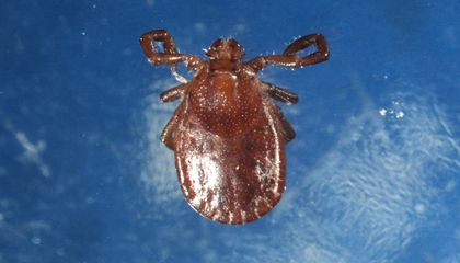 Blood-Sucking Invasive Tick Species Spreading Across United States