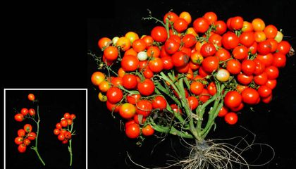 Gene-Edited Tomatoes Grow in Bunches Like Grapes, Making Them Ideal for Urban Farming