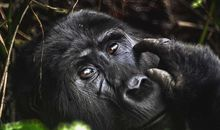COVID-19 Could Threaten Great Apes, Too