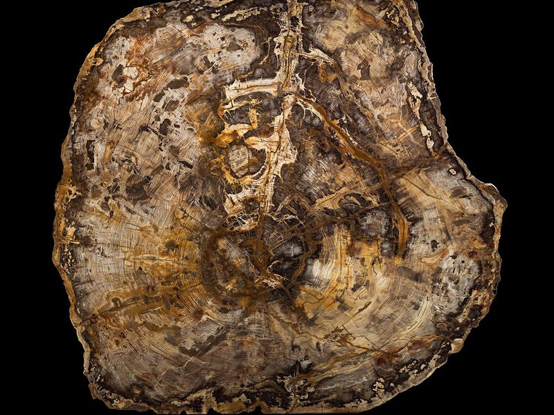 A 16-Million-Year-Old Tree Tells a Deep Story of the Passage of Time
