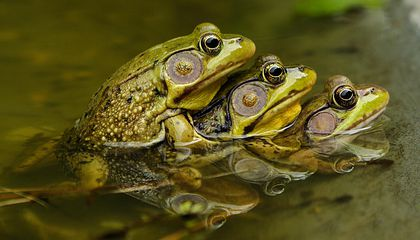 There's No Wrong Way to Make a Tadpole (or Froglet)