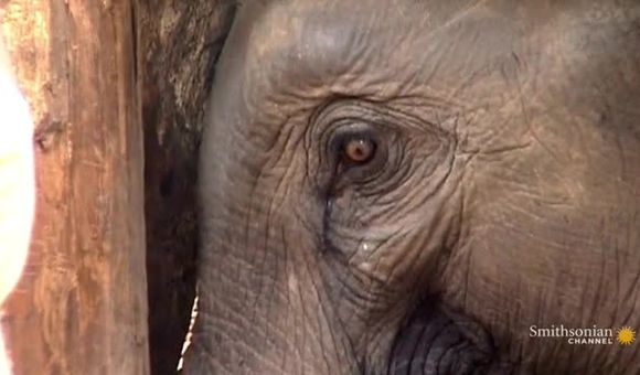 Preview thumbnail for video'Breaking an Elephant's Spirit
