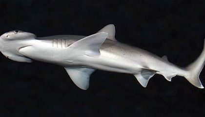 Fish Are Friends, Not (Always) Food: Meet the World's First Omnivorous Shark Species
