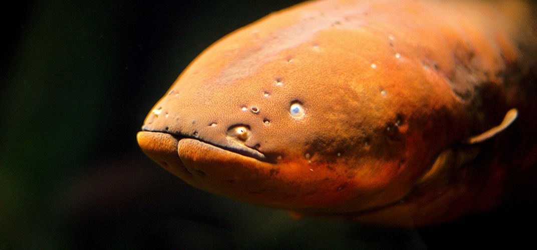 Caption: Electric Eels Inspire A New Type of Battery
