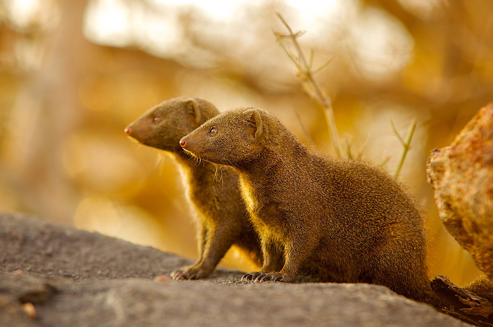 For Immigrant Mongooses, It Can Take Time to Earn Society's Trust | Science  | Smithsonian Magazine