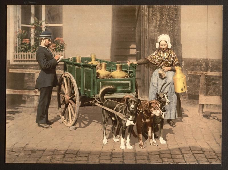 milk cart pulled by dogs