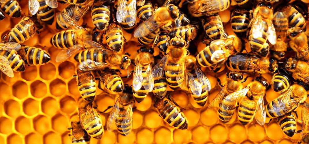 Caption: Researchers Create First Honey Bee Vaccine