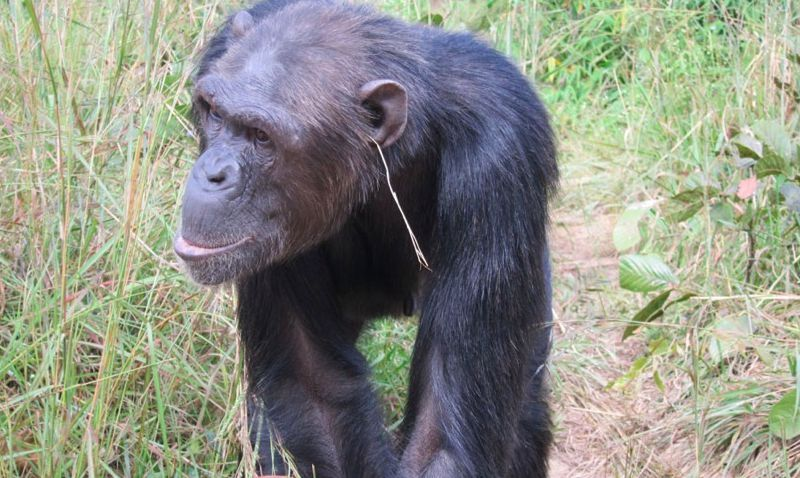 grass-in-ear-chimpanzee.jpg