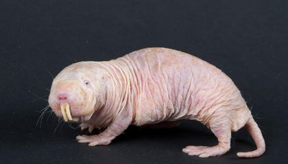 Old Age Doesn't Seem to Kill Naked Mole Rats