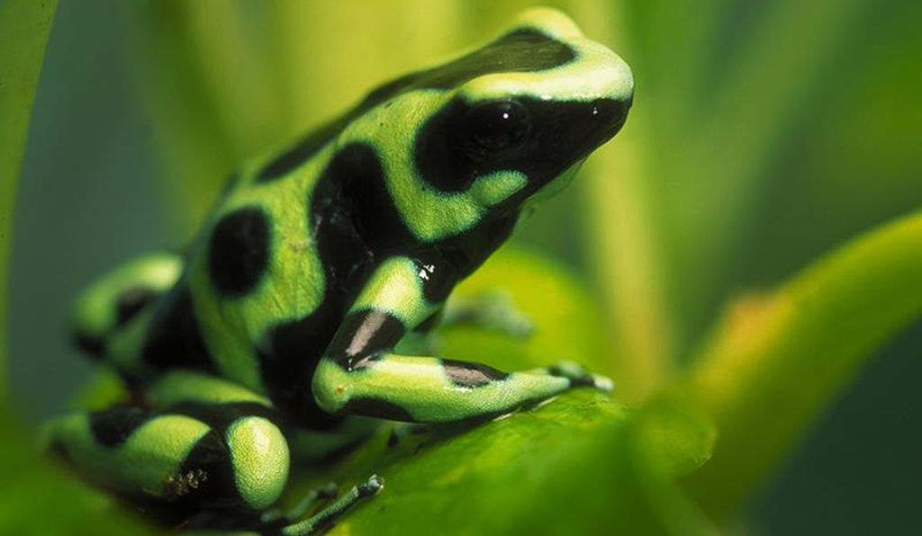 A green and black poison frog.