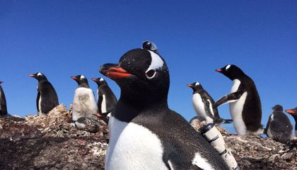 Watch Gentoo Penguins Hunting From a Bird's Eye View