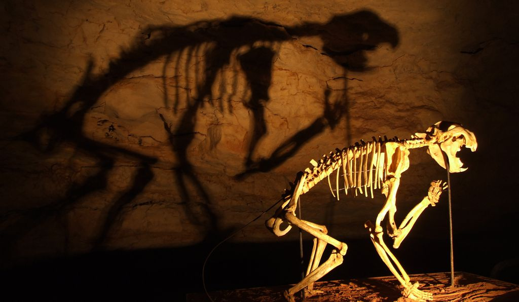 A skeleton of a Marsupial Lion (<i>Thylacoleo carnifex</i>) in the Victoria Fossil Cave, Naracoorte Caves National Park, South Australia.