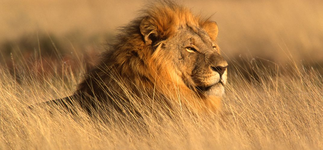 Lion in Namibia's Etosha National Park