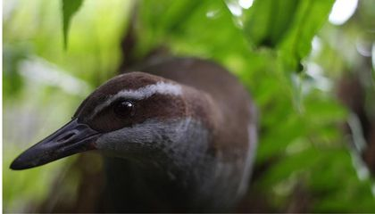 Conserving the Last of Guam's Avifauna: The Recovery of the Guam Rail