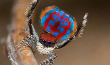 Stunning Images Capture Peacock Spiders' Flashy Colors