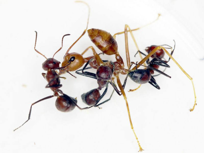 Exploding' Ant Ruptures Its Own Body to Defend Its Nest