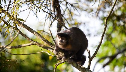 Wild Monkeys Unintentionally Make Stone Age Tools, But Don't See the Point